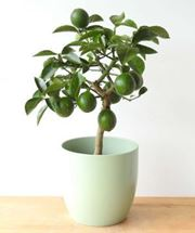 Picture of Lemon Meyer Tree Gift