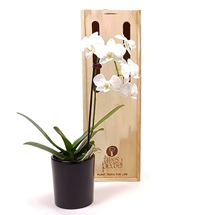 Picture of White Orchid Plant