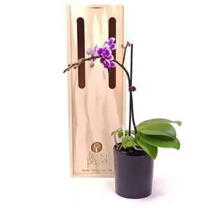 Picture of Fuchsia Orchid Plant